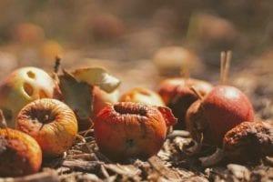 pommes abîmées